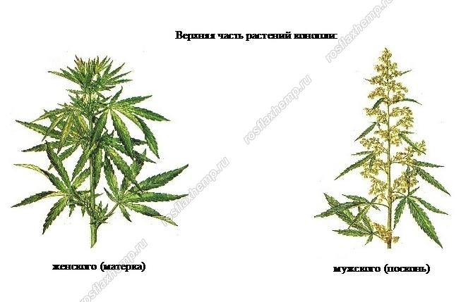 Как определить пустоцвет у конопли сумка с марихуаной