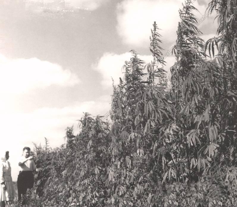 Конопли в ссср урожайность конопли посевной